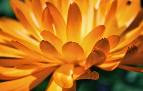Marigold bright orange