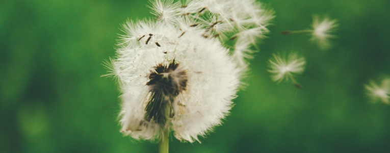 Dandelion in breeze